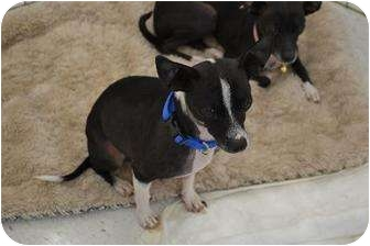 Chihuahua Mix Dog for adption in Chino, California - Rico