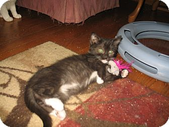Domestic Shorthair Kitten for Sale in Acme, Pennsylvania - Crystal