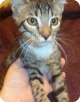 Domestic Shorthair Kitten for Sale in Porter, Texas - Binks