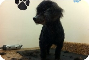 Poodle (Miniature) Dog for Sale in Danbury, Connecticut - Briar
