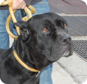 Cane Corso Mix Dog for adption in Brooklyn, New York - Harmony