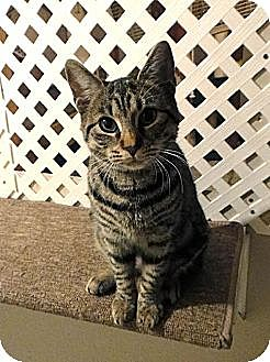 Domestic Shorthair Cat for adoption in Netcong, New Jersey - Stella