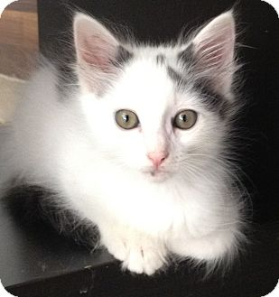 Domestic Longhair Kitten for Sale in Los Angeles, California - Milton- Fluffy Boy