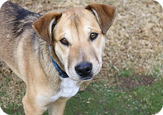 Shepherd (Unknown Type)/Labrador Retriever Mix Dog for Sale in Bellflower, California - Noah