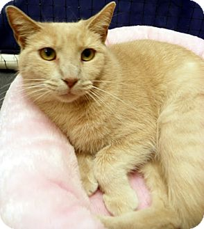 Domestic Shorthair Cat for adoption in Alexandria, Virginia - Babs