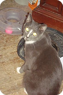Domestic Shorthair Cat for adoption in Brooklyn, New York - Angel
