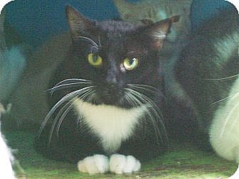 Domestic Shorthair Cat for adoption in Orlando, Florida - Louie
