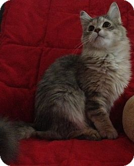 Domestic Mediumhair Kitten for Sale in Simpsonville, South Carolina - Dani