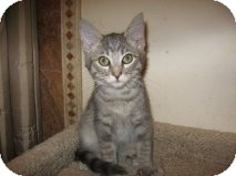 Domestic Shorthair Kitten for Sale in Mesa, Arizona - Steele