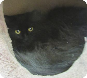 Domestic Longhair Cat for Sale in Mobile, Alabama - Nochi