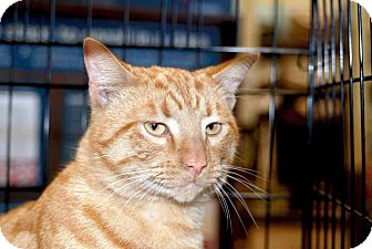 Domestic Shorthair Cat for adoption in Elfers, Florida - Colby
