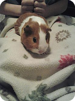 Guinea Pig for Sale in johnson creek, Wisconsin - margaret