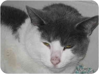 Domestic Shorthair Cat for adoption in Union Lake, Michigan - Silver>^.,.^< $50 adoption