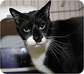 Domestic Shorthair Cat for adoption in New York, New York - Gabe