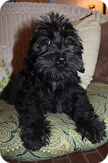 Scottie, Scottish Terrier/Shih Tzu Mix Puppy for Sale in Hamburg, Pennsylvania - Armani