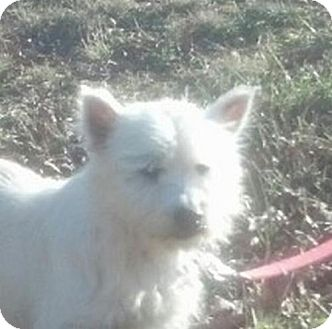 Westie, West Highland White Terrier Mix Dog for Sale in Windham, New Hampshire - Lila