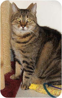 American Shorthair Cat for Sale in Victor, New York - Dude