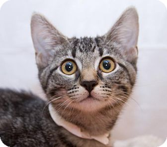Domestic Shorthair Kitten for Sale in Irvine, California - Dahlia