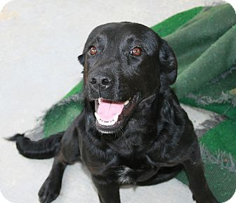 Labrador Retriever Mix Dog for Sale in san antonio, Texas - Winnie
