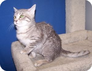 Domestic Shorthair Cat for Sale in Colorado Springs, Colorado - Merida