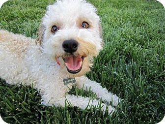 Poodle (Miniature) Mix Dog for Sale in Woodland Hills, California - Summer