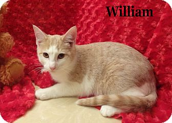 Domestic Shorthair Cat for Sale in Bentonville, Arkansas - William