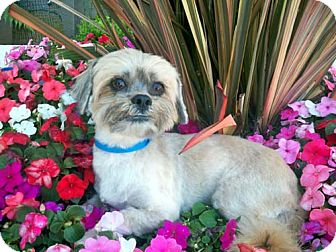 Shih Tzu Mix Dog for Sale in Los Angeles, California - WALDO