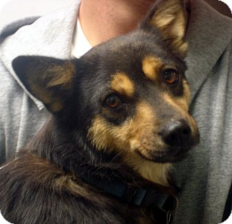 Corgi Mix Dog for adption in hagerstown, Maryland - Julie