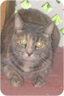 Domestic Shorthair Cat for adoption in Palm City, Florida - Tessy