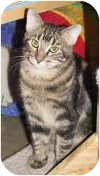Domestic Shorthair Cat for adoption in Strathmore, Alberta - Maverick