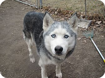 Husky Mix Dog for adption in Hamilton, Montana - Sasha