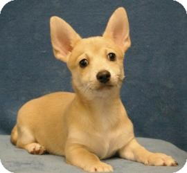 Chihuahua/Terrier (Unknown Type, Small) Mix Puppy for Sale in Sacramento, California - Wolfie