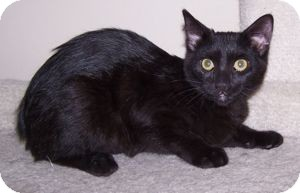 Domestic Shorthair Kitten for Sale in Colorado Springs, Colorado - K-Tucker2-Eva