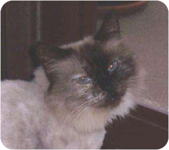 Balinese Cat for adoption in Merrifield, Virginia - Jemma