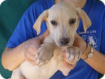 Golden Retriever/Labrador Retriever Mix Puppy for Sale in Oviedo, Florida - Tuck