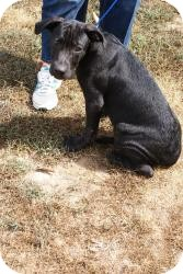 Great Dane/Labrador Retriever Mix Puppy for Sale in Pocahontas, Arkansas - Pablo