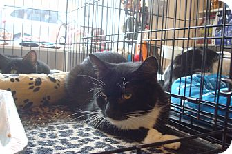 Domestic Shorthair Cat for adoption in Brooklyn, New York - Mandy
