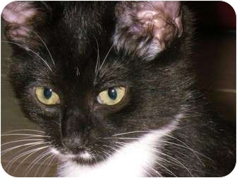 Domestic Mediumhair Cat for adoption in Ottawa, Ontario - Miracle