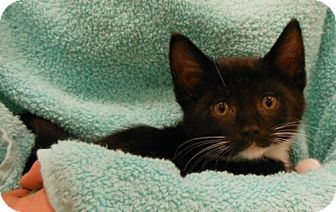 Domestic Shorthair Kitten for Sale in Sterling, Virginia - Alexander