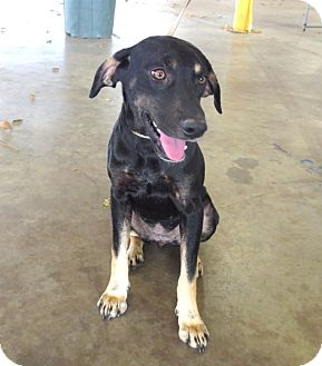 Hound (Unknown Type)/Retriever (Unknown Type) Mix Dog for adption in Porter, Texas - Brila