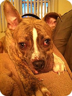 Boxer/American Staffordshire Terrier Mix Dog for adption in New York, New York - Tom