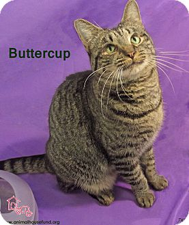 Domestic Shorthair Cat for adoption in St Louis, Missouri - Buttercup