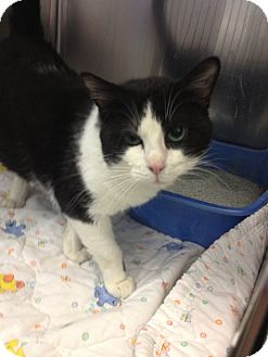 Domestic Shorthair Cat for adoption in Schererville, Indiana - Spot
