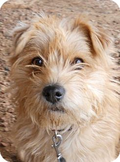Terrier (Unknown Type, Small) Mix Dog for Sale in dewey, Arizona - Spirit