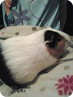 Guinea Pig for Sale in johnson creek, Wisconsin - mindy