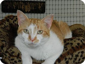 Domestic Shorthair Cat for adoption in Elizabeth City, North Carolina - Bubba