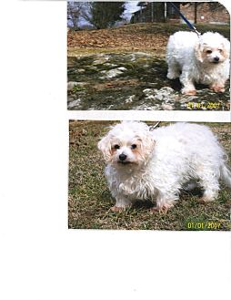 Maltese/Poodle (Toy or Tea Cup) Mix Dog for Sale in Sherman, Connecticut - Maxwell