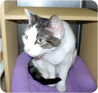 Domestic Shorthair Cat for adoption in Colmar, Pennsylvania - Spangle