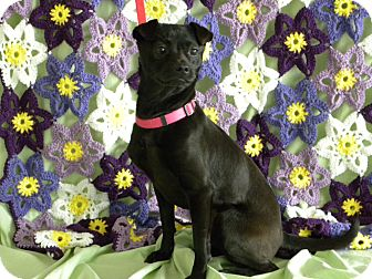 Miniature Pinscher/Pug Mix Dog for Sale in Princeton, Kentucky - Grace