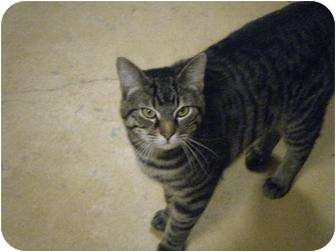 Domestic Shorthair Cat for adoption in Jamestown, Ohio - PADDY